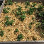 Mulchen erdbeeren Stroh