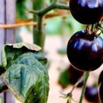 Tomate in schwarz